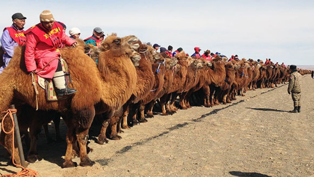 Thousand Camel Festival in the Gobi